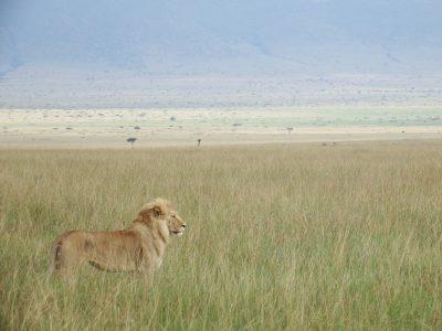 ケニア ライオンと草原