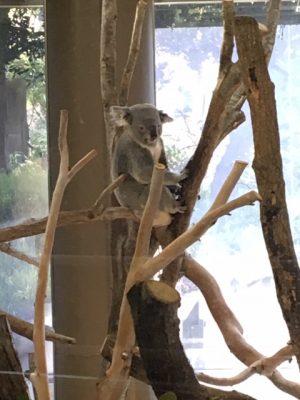 金沢動物園コアラ