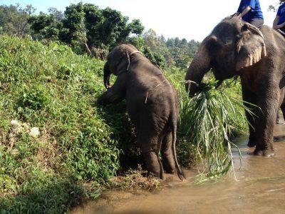 草を食べる象さん